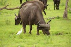 Muitos búfalos na pastagem Fotografia de Stock Royalty Free