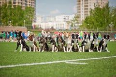 Muitos cães de border collie junto imagens de stock