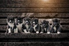 Muitos cachorrinhos de mármore de Akita de seis bkack com sol fotos de stock royalty free