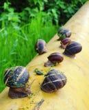Muitos caracóis marrons pequenos imagem de stock