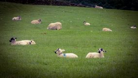 Muitos carneiros imagens de stock royalty free