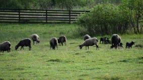 Muitos carneiros que pastam filme