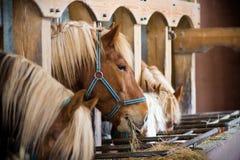 Muitos cavalos em uma fileira Fotos de Stock