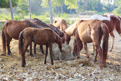 Muitos cavalos estão com fome para o feno da manhã imagem de stock