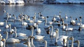 Muitos cisnes e patos selvagens no lago Tempo de inverno, tempo ensolarado 4k vídeos de arquivo