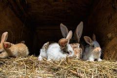 Muitos coelhos doces novos em uma vertente Um grupo de alimentação colorida pequena da família dos coelhos na jarda de celeiro Sí Foto de Stock
