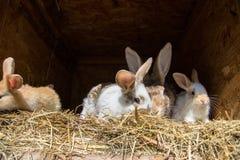 Muitos coelhos doces novos em uma vertente Um grupo de alimentação colorida pequena da família dos coelhos na jarda de celeiro Sí Foto de Stock Royalty Free