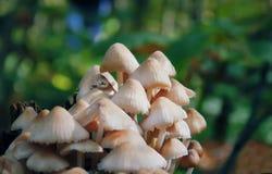 Muitos cogumelos da madeira Cogumelos amarelos em uma árvore Macro Cogumelos com uma matiz roxa Crescimento fungoso A árvore é Imagens de Stock Royalty Free