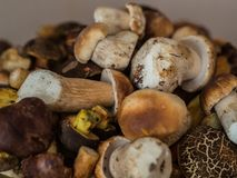 Muitos cogumelos frescos do boleto Imagem de Stock Royalty Free