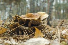 Muitos cogumelos na floresta do outono, cercada pelas folhas foto de stock royalty free