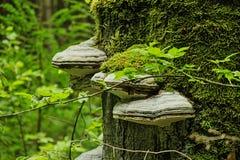 Muitos cogumelos no tronco de árvore musgo-coberto na floresta Imagens de Stock Royalty Free