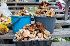 Muitos cogumelos recolheram em umas cubetas e em uma cesta imagem de stock