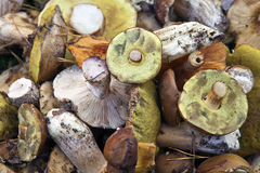 Muitos cogumelos selvagens Fotografia de Stock Royalty Free