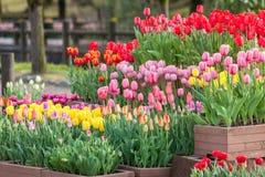 Muitos colorem a flor da tulipa imagens de stock