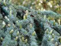Muitos cones verdes em um ramo spruce macio Imagens de Stock