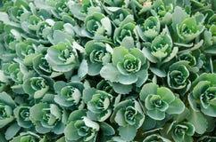 Muitos conjuntos pequenos de folhas suculentos Fotografia de Stock