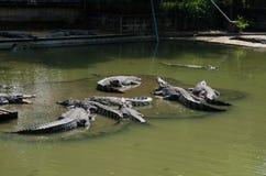 Muitos crocodilos Imagem de Stock