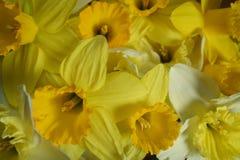 Muitos daffodils Fotografia de Stock Royalty Free