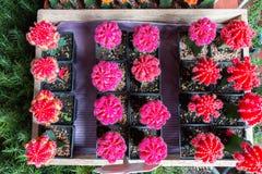 Muitos de potenciômetros cor-de-rosa do cacto Imagens de Stock Royalty Free