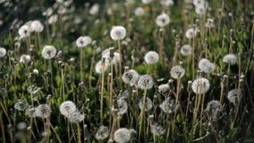 Muitos dentes-de-leão no gramado no parque em um dia de verão quente tornam-se ventosos do vento nave video estoque