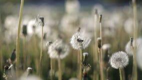 Muitos dentes-de-leão no gramado no parque em um dia de verão quente tornam-se ventosos do vento nave vídeos de arquivo