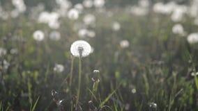 Muitos dentes-de-leão no gramado no parque em uma tarde quente do verão no por do sol nave filme