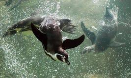 Muitos diversos, três pinguins nadam rapidamente e deftly no mar da água Um pinguim inteligente nada na água de turquesa com muit imagens de stock royalty free
