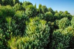 Muitos enfeitam arbustos decorativos Imagens de Stock