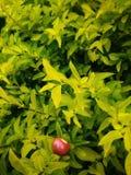 Muitos folhas amarelas e fruto vermelho fotografia de stock royalty free