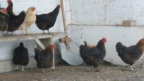 Muitos galinhas, galos e galinhas diferentes sentando-se na jarda rural no banco ou na terra na neve fina do inverno voam perto video estoque
