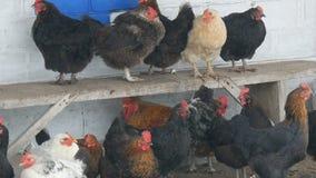 Muitos galinhas, galos e galinhas diferentes sentando-se na jarda rural no banco ou na terra na neve fina do inverno voam perto vídeos de arquivo