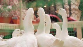 Muitos gansos brancos filme