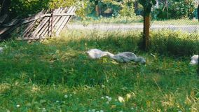 Muitos gansos brancos adultos pastam na grama verde na jarda rural video estoque