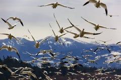 Muitos gansos de neve fecham-se acima do voo da montanha Fotos de Stock