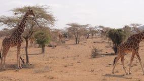 Muitos girafas na reserva de Samburu na estação seca perto das árvores e dos arbustos video estoque