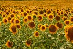 Muitos girassóis de florescência do amarelo em um campo grande em um dia de verão Fotos de Stock Royalty Free