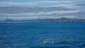 Muitos golfinhos que nadam no mar Fotografia de Stock Royalty Free