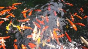Muitos gostam da carpa ou da natação chamada dos peixes de Koi na lagoa da carpa vídeos de arquivo