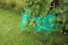 Muitos grupos verdes da uva nos sacos protetores a proteger do dama Fotos de Stock