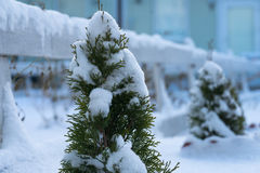 Muitos juncos na neve Foto de Stock