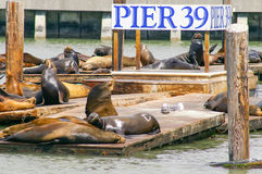Muitos leões de mar no cais 39 em San Francisco, Califórnia, EUA Foto de Stock Royalty Free