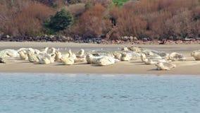 Muitos leões de mar que dormem no Sandbar video estoque