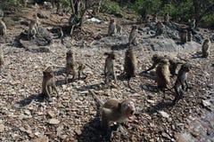 Muitos macacos selvagens sentam-se no banco de pedra Foto de Stock