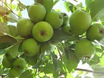 Muitos, muitas peras pequenas, como um grupo de uvas que penduram em um ramo fotos de stock