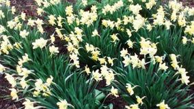 Muitos narcisos amarelos em uma cama de flor imagens de stock royalty free