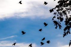 Muitos pássaros bonitos que voam para trás a seu movimento do escape da migração da paisagem da natureza do céu do preto da foto  Fotos de Stock