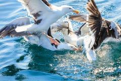 Muitos pássaros da gaivota que pescam no mar Foto de Stock Royalty Free