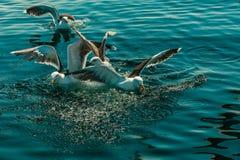 Muitos pássaros da gaivota que pescam no mar Imagens de Stock