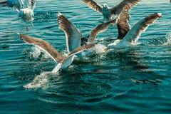 Muitos pássaros da gaivota que pescam no mar Imagem de Stock