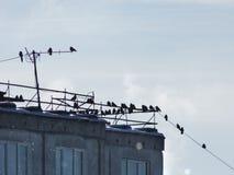 Muitos pássaros, jackdaws, corvos sentaram-se nos rebanhos em fios no telhado de um prédio de apartamentos de vários andares foto de stock
